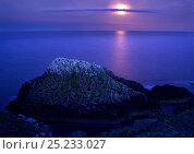 Gannet (Morus bassanus) colony at dusk, Saltee Islands, Ireland, May 2008. Bookplate from Danny Green's 'The Long Journey North' Стоковое фото, фотограф Danny Green / Nature Picture Library / Фотобанк Лори