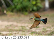 Купить «Rainbow Bee-eater (Merops ornatus) in flight with insect. Cairns, Queensland, Australia», фото № 25233091, снято 27 июня 2019 г. (c) Nature Picture Library / Фотобанк Лори