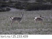 Купить «Tibetan gazelle / goa (Procapra picticaudata) feeding on grass, near Threatened and endemic to the Tibetan plateau, near Tsada, Tibet», фото № 25233439, снято 21 июля 2018 г. (c) Nature Picture Library / Фотобанк Лори