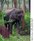 Купить «Asian Elephant (Elephas maximus) female feeding, covered in dirt, with termite mound, Nagarhole National Park, South India», фото № 25233527, снято 25 мая 2019 г. (c) Nature Picture Library / Фотобанк Лори