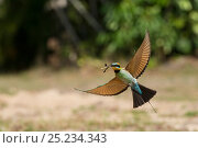 Купить «Rainbow Bee-eater (Merops ornatus) in flight with insect. Cairns, Queensland, Australia», фото № 25234343, снято 27 июня 2019 г. (c) Nature Picture Library / Фотобанк Лори
