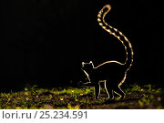 Ring tailed Lemur (Lemur catta) silhouetted. Madagascar. Стоковое фото, фотограф Andy Rouse / Nature Picture Library / Фотобанк Лори