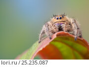 Regal Jumping Spider (Phidippus regius) female. Captive, endemic to... Стоковое фото, фотограф Alex Hyde / Nature Picture Library / Фотобанк Лори