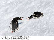Купить «Gentoo Penguins (Pygoscelis papua) showing aggression as they pass by one another, South Georgia, November», фото № 25235687, снято 3 июля 2020 г. (c) Nature Picture Library / Фотобанк Лори