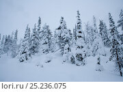 Купить «Snow-covered pines inside Riisitunturi National Park, Lapland, Finland», фото № 25236075, снято 27 июня 2019 г. (c) Nature Picture Library / Фотобанк Лори