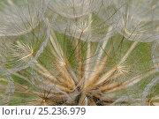 Купить «Goat's beard (Tragopogon pratensis) close up of seedhead 'clock', chalk grassland meadow, Wiltshire, UK, June.», фото № 25236979, снято 25 марта 2019 г. (c) Nature Picture Library / Фотобанк Лори