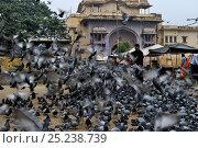Купить «Religious feeding of pigeons (Columba livia) by Hindus, Jodphur, India», фото № 25238739, снято 19 августа 2018 г. (c) Nature Picture Library / Фотобанк Лори