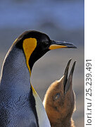 Купить «King Penguin (Aptenodytes patagonicus) chick begging for food at St Andrews Bay colony, South Georgia, November», фото № 25239491, снято 24 сентября 2018 г. (c) Nature Picture Library / Фотобанк Лори