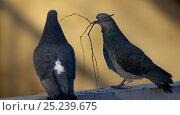 Купить «Feral Pigeons (Columba livia) one with nesting material in beak, Helsinki, Finland, January», фото № 25239675, снято 10 декабря 2018 г. (c) Nature Picture Library / Фотобанк Лори