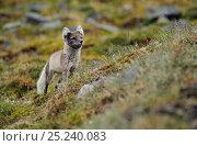 Купить «Arctic fox (Alopex lagopus) stalking prey, Svalbard, Norway», фото № 25240083, снято 18 марта 2019 г. (c) Nature Picture Library / Фотобанк Лори