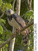 Купить «Harpy Eagle (Harpia harpyja). Gamboa, Soberania National Park, Panama.», фото № 25240895, снято 24 апреля 2019 г. (c) Nature Picture Library / Фотобанк Лори