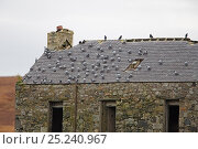 Купить «Rock Doves (Columba livia) perched on roof of disused building Islay Scotland, UK, October», фото № 25240967, снято 16 декабря 2017 г. (c) Nature Picture Library / Фотобанк Лори