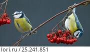 Купить «Blue Tits (Paris caereleus) two feeding on red berries, Uto Finland October», фото № 25241851, снято 24 июня 2018 г. (c) Nature Picture Library / Фотобанк Лори
