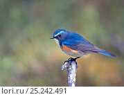 Red-flanked Bluetail (Tarsiger cyanurus) Kuusamo, Finland. Fascinating birds bookplate. Стоковое фото, фотограф Markus Varesvuo / Nature Picture Library / Фотобанк Лори