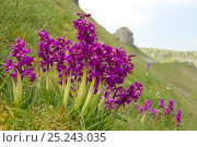 Купить «Early Purple Orchids (Orchis mascula) in flower in Cressbrook Dale, Derbyshire, UK May», фото № 25243035, снято 19 июля 2018 г. (c) Nature Picture Library / Фотобанк Лори