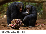 Купить «Western chimpanzee (Pan troglodytes verus)   alpha male 'Foaf' aged 30 years looking curiously at female 'Jire' aged 52 years as she feeds on palm oil...», фото № 25243115, снято 22 марта 2019 г. (c) Nature Picture Library / Фотобанк Лори