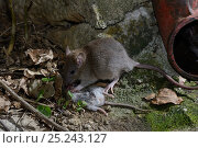 Купить «Brown rat (Rattus norvegicus) eating mouse (Mus musculus) France, February Captive», фото № 25243127, снято 23 мая 2018 г. (c) Nature Picture Library / Фотобанк Лори