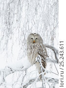 Купить «Ural Owl (Stix uralensis) perched in snowy tree, Kuusamo Finland February», фото № 25243611, снято 21 ноября 2018 г. (c) Nature Picture Library / Фотобанк Лори
