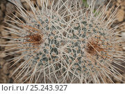 Купить «Fishhook Cactus (Mamillaria parkinsonii). Northern Mexico.», фото № 25243927, снято 22 сентября 2018 г. (c) Nature Picture Library / Фотобанк Лори