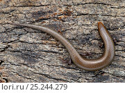 Bedriaga's skink (Chalcides bedriagai) on piece of cork bark, Extremadura, Spain, April. Стоковое фото, фотограф Bert Willaert / Nature Picture Library / Фотобанк Лори
