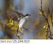 Pied Flycatcher (Ficedula hypoleucos) in flight, Uto island, Finland May. Fascinating birds bookplate. Стоковое фото, фотограф Markus Varesvuo / Nature Picture Library / Фотобанк Лори