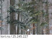 Купить «Beech (Fagus sylvatica) and Fir (Abies alba) forest in snow, Poloniny National Park, Slovakia, February 2011», фото № 25245227, снято 14 августа 2018 г. (c) Nature Picture Library / Фотобанк Лори