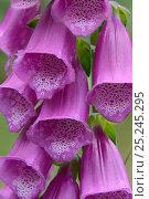Купить «Foxglove (Digitalis purpurea) flowers. Vosges, France, June.», фото № 25245295, снято 22 июля 2018 г. (c) Nature Picture Library / Фотобанк Лори