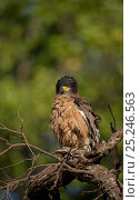 Crested Serpent Eagle (Spilornis cheela) adult with crest erect. Bandhavgarh National Park, India. Стоковое фото, фотограф Andrew Parkinson / Nature Picture Library / Фотобанк Лори