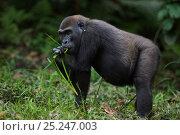 Купить «Western lowland gorilla (Gorilla gorilla gorilla) sub-adult female 'Mosoko' aged 8 years feeding on sedge grasses in Bai Hokou, Dzanga Sangha Special Dense...», фото № 25247003, снято 18 февраля 2020 г. (c) Nature Picture Library / Фотобанк Лори