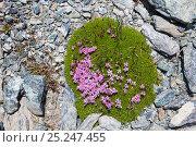 Купить «Moss Campion (Silene acaulis) growing on scree slope at 2800m altitude, Aosta Valley, Monte Rosa Massif, Pennine Alps, Italy. July.», фото № 25247455, снято 19 февраля 2019 г. (c) Nature Picture Library / Фотобанк Лори