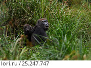 Купить «Western lowland gorilla (Gorilla gorilla gorilla) female 'Mopambi' with her infant 'Sopo' aged 18 months sitting in Bai Hokou, Dzanga Sangha Special Dense...», фото № 25247747, снято 18 января 2019 г. (c) Nature Picture Library / Фотобанк Лори