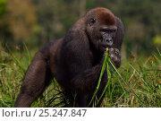Купить «Western lowland gorilla (Gorilla gorilla gorilla) sub-adult male 'Kunga' aged 13 years feeding on sedge grasses in Bai Hokou, Dzanga Sangha Special Dense...», фото № 25247847, снято 18 января 2019 г. (c) Nature Picture Library / Фотобанк Лори