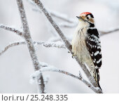 Lesser Spotted Woodpecker (Dendrocopus minor)perched on snowy branch, Kuusamo, Finland January. Fascinating birds bookplate. Стоковое фото, фотограф Markus Varesvuo / Nature Picture Library / Фотобанк Лори