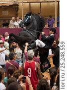 Купить «Man riding a black Menorquin stallion, performing the bot or walking courbette of the Doma Menorquina, during the festival Mare de Deu de Gracia, in Mahon...», фото № 25248559, снято 26 февраля 2018 г. (c) Nature Picture Library / Фотобанк Лори