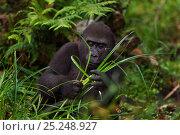 Купить «Western lowland gorilla (Gorilla gorilla gorilla) juvenile male 'Tembo' aged 4 years feeding on sedge grasses in Bai Hokou, Dzanga Sangha Special Dense...», фото № 25248927, снято 23 марта 2019 г. (c) Nature Picture Library / Фотобанк Лори