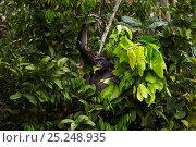 Купить «Western lowland gorilla (Gorilla gorilla gorilla) female 'Malui' feeding on leaves in a tree, Bai Hokou, Dzanga Sangha Special Dense Forest Reserve, Central African Republic. December 2011.», фото № 25248935, снято 23 февраля 2019 г. (c) Nature Picture Library / Фотобанк Лори