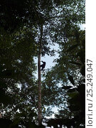Купить «Western lowland gorilla (Gorilla gorilla gorilla) juvenile climbing up tall tree, Bai Hokou, Dzanga Sangha Special Dense Forest Reserve, Central African Republic. December 2011.», фото № 25249047, снято 18 января 2019 г. (c) Nature Picture Library / Фотобанк Лори