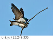 Купить «Tree swallows (Tachyneta bicolor) mating, Pointe Pelee, Ontario, Canada May», фото № 25249335, снято 5 июня 2020 г. (c) Nature Picture Library / Фотобанк Лори