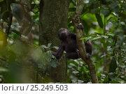 Купить «Western lowland gorilla (Gorilla gorilla gorilla) infant 'Sopo' aged 18 months playing in a tree, Bai Hokou, Dzanga Sangha Special Dense Forest Reserve, Central African Republic. December 2011.», фото № 25249503, снято 18 февраля 2020 г. (c) Nature Picture Library / Фотобанк Лори