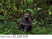 Купить «Western lowland gorilla (Gorilla gorilla gorilla) juvenile male 'Mobangi' aged 5 years feeding on rotting wood, Bai Hokou, Dzanga Sangha Special Dense...», фото № 25249535, снято 21 июля 2019 г. (c) Nature Picture Library / Фотобанк Лори