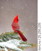 Купить «Northern Cardinal (Cardinalis cardinalis) male perched on conifer during snowstorm, New York, USA, February.», фото № 25250235, снято 5 июня 2020 г. (c) Nature Picture Library / Фотобанк Лори