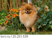 Купить «Pomeranian dog in garden setting, Illinois, USA», фото № 25251539, снято 19 апреля 2019 г. (c) Nature Picture Library / Фотобанк Лори