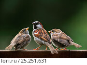 Купить «Male House sparrow (Passer domesticus) with juveniles begging for food on garden fence, Belgium, July», фото № 25251631, снято 17 июля 2018 г. (c) Nature Picture Library / Фотобанк Лори