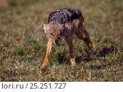 Купить «Black backed jackal (Canis mesomelas) on the prowl, Masai Mara National Reserve, Kenya, August.», фото № 25251727, снято 13 июля 2020 г. (c) Nature Picture Library / Фотобанк Лори