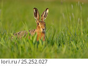 European hare (Lepus europaeus) in field, UK, April. Стоковое фото, фотограф Andy Rouse / Nature Picture Library / Фотобанк Лори