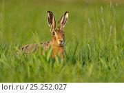Купить «European hare (Lepus europaeus) in field, UK, April», фото № 25252027, снято 4 июня 2020 г. (c) Nature Picture Library / Фотобанк Лори