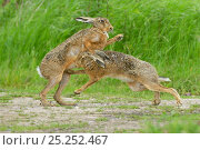 European hares (Lepus europaeus) courtship boxing, UK, June. Стоковое фото, фотограф Andy Rouse / Nature Picture Library / Фотобанк Лори
