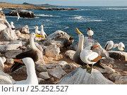 Waved albatross (Phoebastria irrorata), Swallow-tailed gulls (Creagrus furcatus) and Nazca boobies (Sula granti) nesting as a mixed colony. Punta Cevallos... Стоковое фото, фотограф Tui De Roy / Nature Picture Library / Фотобанк Лори