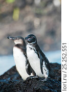 Купить «Galapagos penguins (Spheniscus mandiculus) standing on coastal volcanic rock. Juvenile in background. Endangered. Isabela Island, Galapagos, Ecuador, June.», фото № 25252551, снято 26 июня 2019 г. (c) Nature Picture Library / Фотобанк Лори