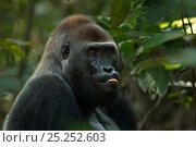 Купить «Western lowland gorilla (Gorilla gorilla gorilla) dominant male silverback 'Makumba' aged 32 years feeding on fruit, Bai Hokou, Dzanga Sangha Special Dense...», фото № 25252603, снято 18 февраля 2020 г. (c) Nature Picture Library / Фотобанк Лори